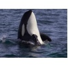 PWWA releases new data on record transient orca sightings In the Sound and Straits