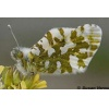 Island Marble Butterfly enroute to Endangered status